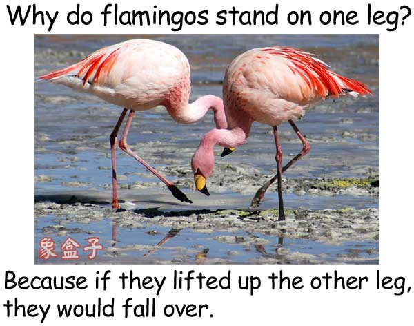 紅鶴單腳站立 flamingos stand on one leg