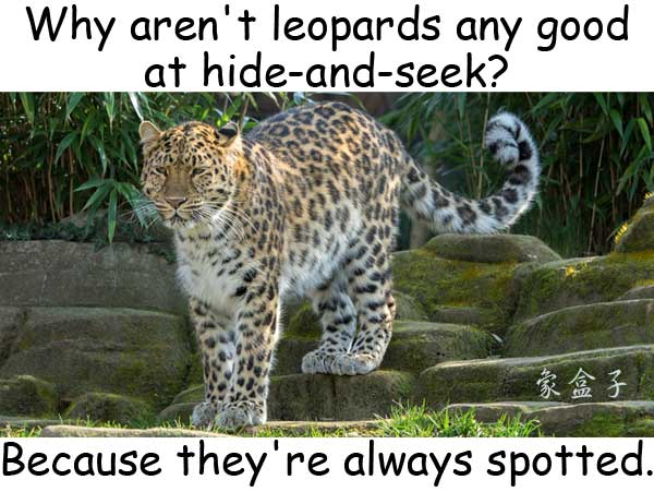 leopard 豹 hide and seek 捉迷藏