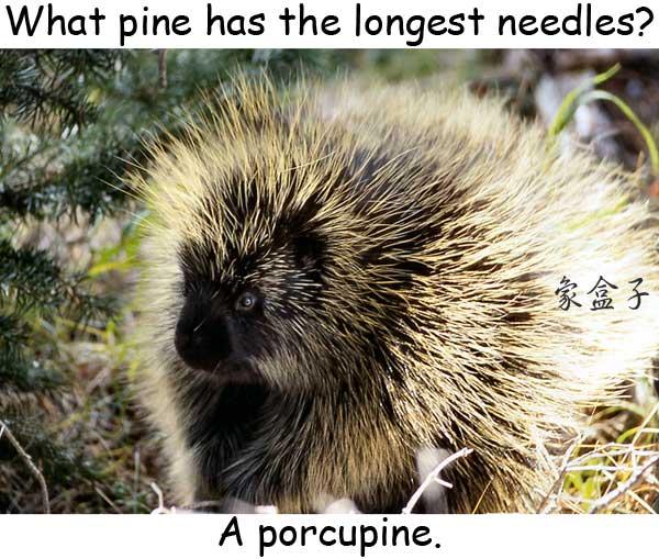 pine 松木 porcupine 豪豬