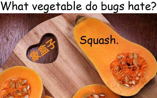 squash 壓扁 南瓜屬植物