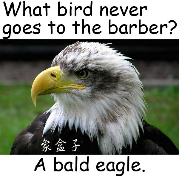 bald eagle 禿鷹 白頭鷹 barber 理髮師